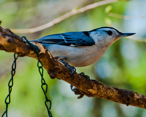 Nuthatch perched on a small branch