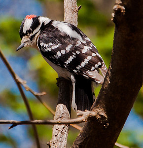 Woodpecker in a tree