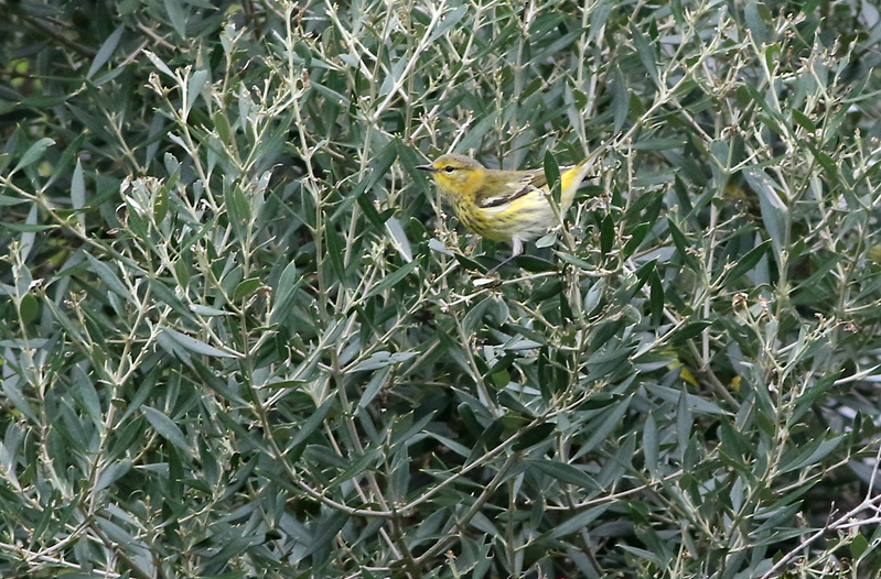 Female Cape May Warbler.
