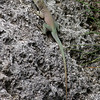 Jamaican Anoles were introduced in 1905 to control fruit flies.  Now they're the most common lizard on the islands.