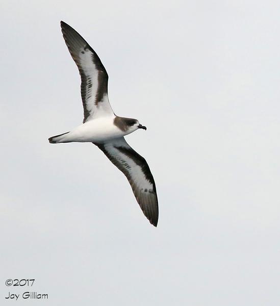 Bermuda Petrel (Cahow).