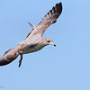 We found this young Ring-billed Gull flying around Shelley Bay.