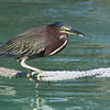 There were a couple of Green Herons around the dock at Flatts Inlet.