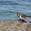 Ruddy Turnstones were along the rocks.