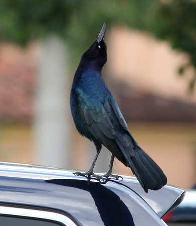 This Boat-tailed Grackle signaled the end of my trip.  I flew back home the next morning.