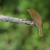 Summer Tanager at the Arboretum.