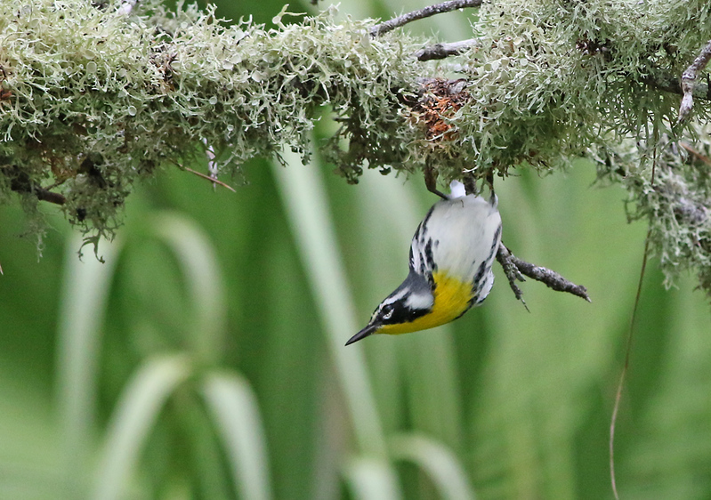 I thought this Yellow-throated Warbler hanging upside-down from this Spanish moss was pretty neat.