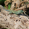 Here's a Jamaican Anole that the kiskadee was introduced to control.