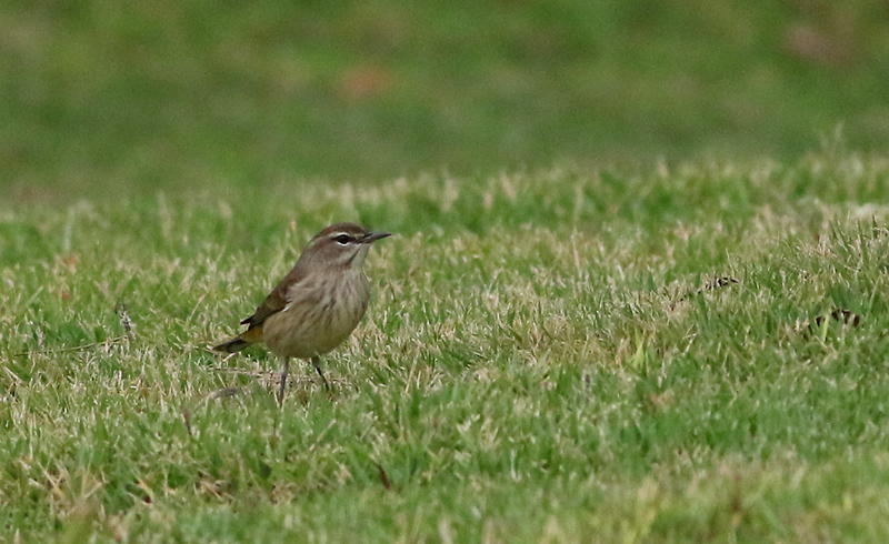 Palm Warblers were hunting in the grass.
