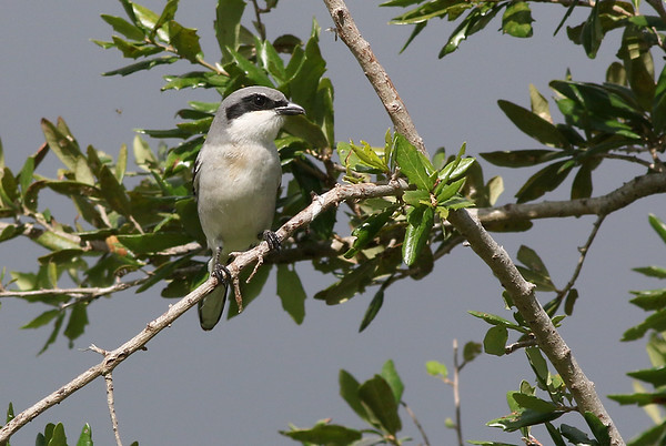 It was unusual to see a Loggerhead Shrike in a residential area.  They like the open country in Iowa.