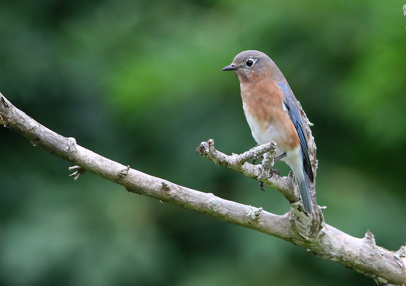 Female Eastern Bluebird at the Arboretum.