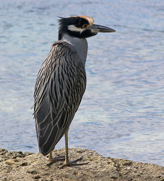 We made it to Flatts Inlet where we found this Yellow-crowned Night-Heron.  There were one or two of these around every time we got on our boat to head out to sea.