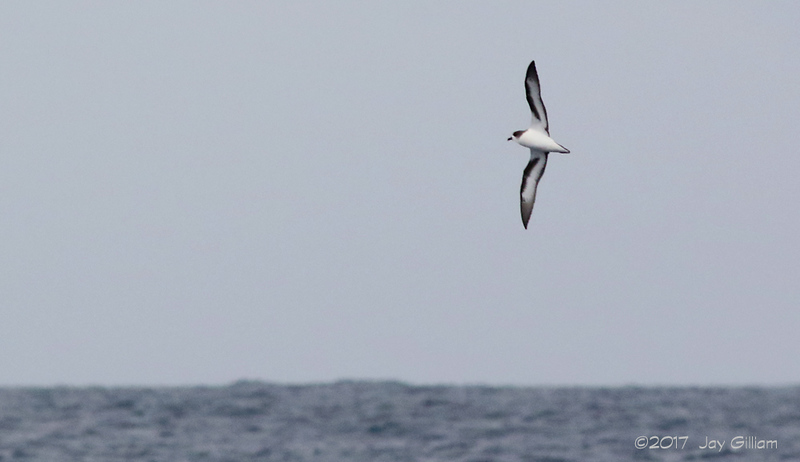 We saw at least five Cahows on this day.  Most of them were distant but some flew past us.