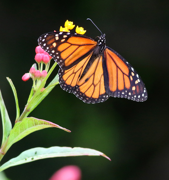 I was surprised to see Monarchs on the islands.  Bermuda has a rare native population of non-migratory Monarchs.  They became established there by the mid-19th century.