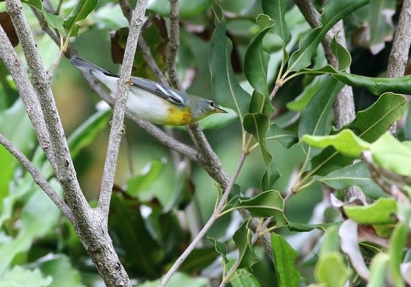 Male Northern Parula warbler.