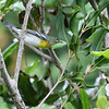 Male Northern Parula warbler.