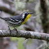 There were a few Yellow-throated Warblers around the Arboretum.