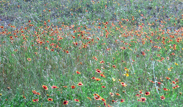 Wildflowers in Hill Country