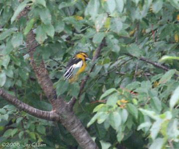 Bullock's Oriole at Art Check's house in Nevada, Story Co.  09-12-08