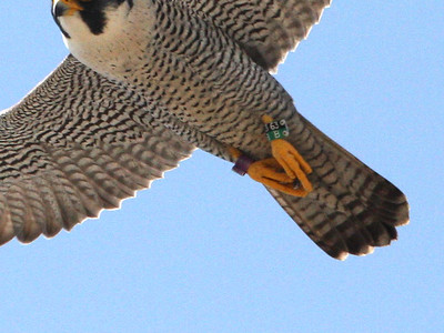The other bird was 63B, amazingly another female falcon!