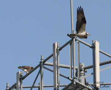 Here the Osprey is flying by the Red-tail and appeared to be taunting it.  04-11-10