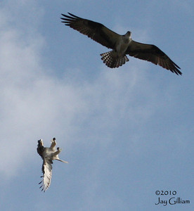 Osprey vs Red-tailed Hawk.  04-11-10