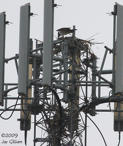 There is some resemblance of a nest finally on 04-25-09.  Hopefully they can continue to build it.