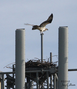 The Osprey was victorious...this time.  04-11-10