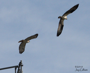 Then the Ospreys showed up and battles began. 04-11-10