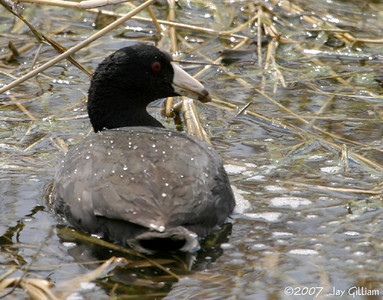 American Coot at Banner wetlands, Warren Co.   14 May