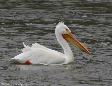 American White Pelican at Shetler RA, Saylorville Lake  10 April