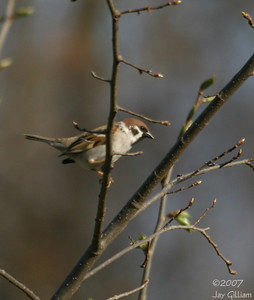 Eurasian Tree Sparrow in Montrose, Lee Co.  21 April