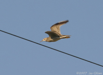 Upland Sandpiper near Corydon, Wayne Co.   21 April
