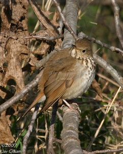 Hermit Thrush at Walnut Woods SP  07 April
