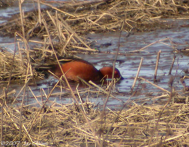 Cinnamon Teal at Jester Park, Polk Co. 16 April