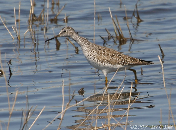 Lesser Yellowlegs at Cumming wetlands, Warren Co.   15 April