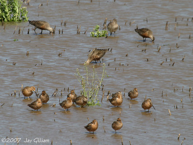 Hudsonian Godwits and dowitchers near Farragut, Fremont Co.   29 April