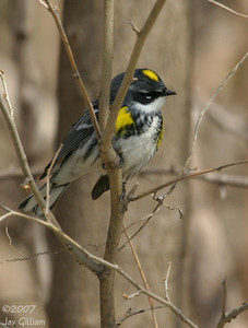 Yellow-rumped Warbler at Shetler RA, Saylorville Lake 12 April