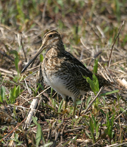 Wilson's Snipe at Port Louisa NWR, Louisa Co.  22 April