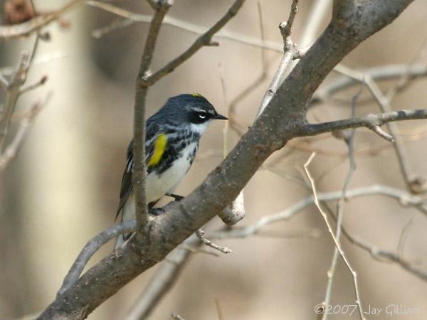 Yellow-rumped Warbler 18 April