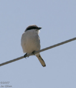 Loggerhead Shrike  08 April