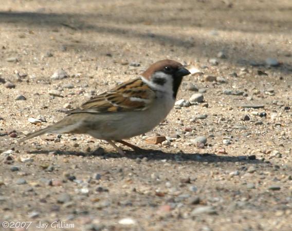 Eurasian Tree Sparrow somewhere in Des Moines Co. 22 April