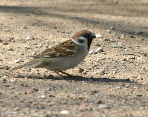 Eurasian Tree Sparrow somewhere in Des Moines Co. 22 April