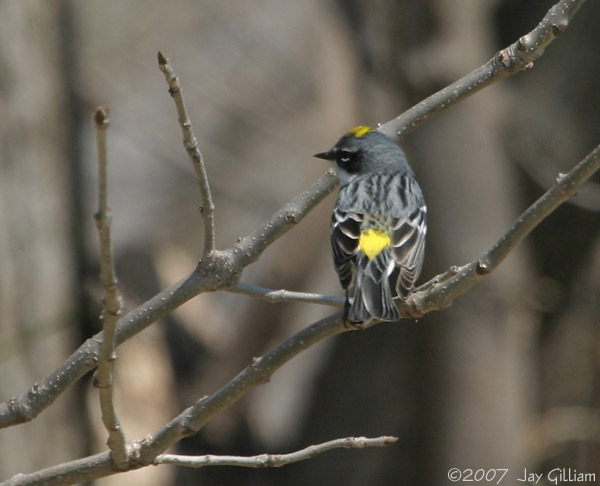 Yellow-rumped Warbler  18 April
