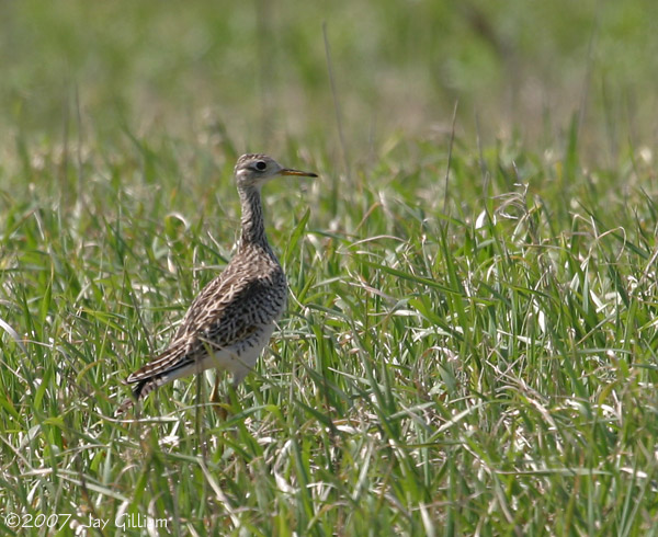 Upland Sandpiper at Kellerton Grasslands, Ringgold Co.   29 April