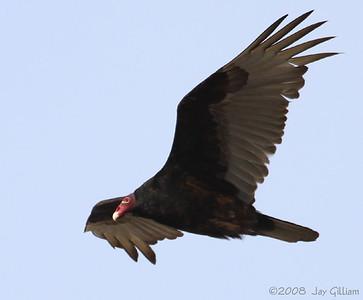 Turkey Vulture on Saylorville Dam, Polk Co.  04-16-08