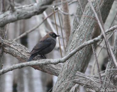 Rusty Blackbird at South Twin Lake, Calhoun Co. 04-05-08