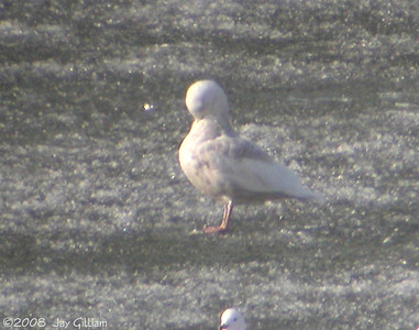 2nd year Glaucous Gull at Saylorville Lake  04-01-08