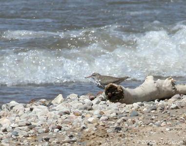 Spotted Sandpiper at Cherry Glen Beach, Saylorville Reservoir, Polk Co. 04-16-08