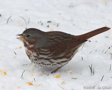 Fox Sparrow in Emmet Co.  04-12-08